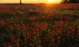 Jetelové pole